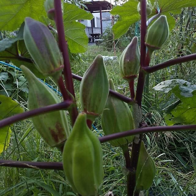 〈早割〉野菜の種 珍しいオクラの種 ダビデの星&ヒルカントリーレッド ハンドメイドのフラワー/ガーデン(その他)の商品写真