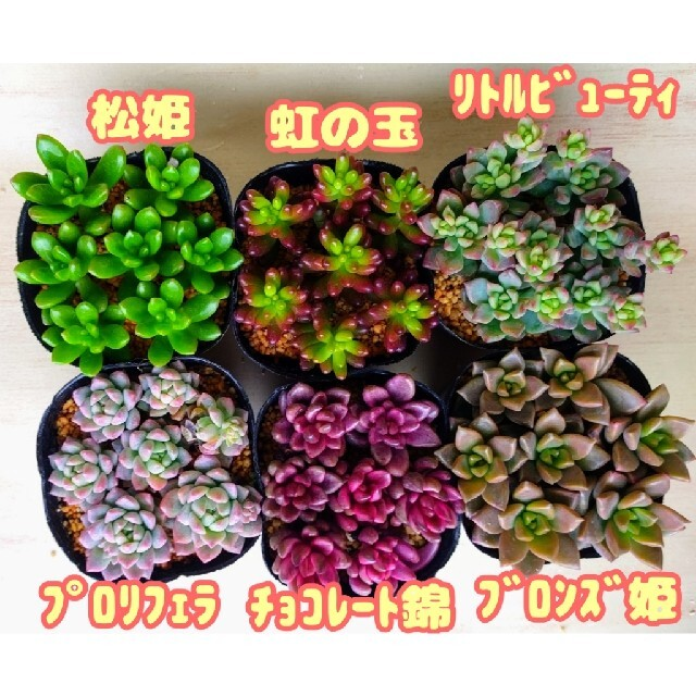 現品のみ【レアあり】6ポットセット ⑤ 多肉植物 プレステラ プラ鉢 ハンドメイドのフラワー/ガーデン(その他)の商品写真