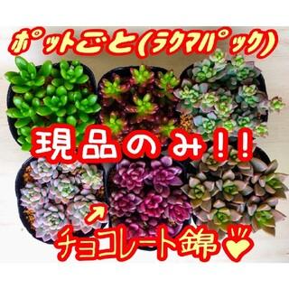 現品のみ【レアあり】6ポットセット ⑤ 多肉植物 プレステラ プラ鉢(その他)