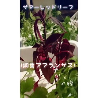 サマーレッドリーフ 銅葉アマランサス ベビーリーフ 家庭菜園 野菜の種 ハーブ(野菜)