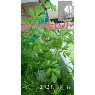 ハーブセロリ 固定種 家庭菜園 水耕栽培 野菜の種 ハーブの種 キッチンハーブ(野菜)
