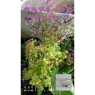 サラダミックスベビーリーフ 固定種 家庭菜園 水耕栽培 野菜の種 ハーブの種(野菜)