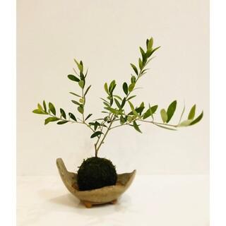 オリーブ《ミッション》の苔玉 観葉植物 インテリア プレゼント 盆栽(その他)
