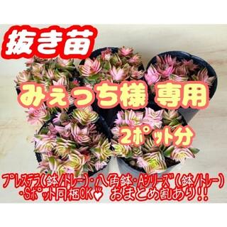 【抜き苗】茜の塔錦×2 多肉植物 クラッスラ 紅葉 プレステラ プラ鉢(その他)