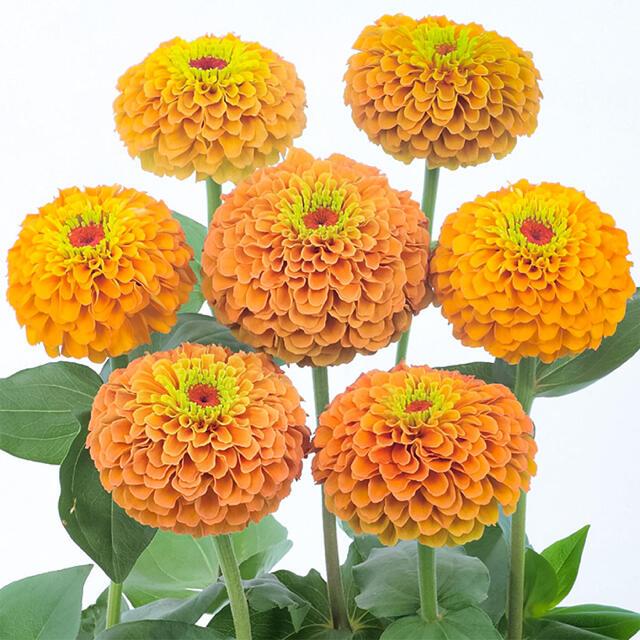 風花様専用ジニア クイーンライムオレンジ、ジニアクイーンレッドライム ハンドメイドのフラワー/ガーデン(その他)の商品写真