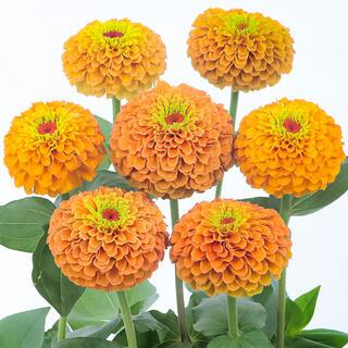 風花様専用ジニア クイーンライムオレンジ、ジニアクイーンレッドライム(その他)