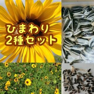 【ひまわり2種類♫】大きくそだつひまわりと小さい花のひまわり種セット(その他)