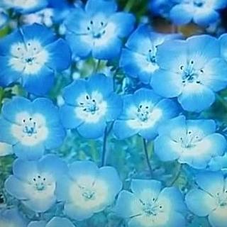 花の種     ネモフィラ200粒以上+おまけ付き50粒以上(その他)
