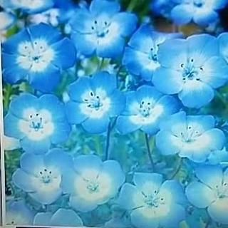 花の種      ネモフィラ200粒+おまけ付き50粒以上(その他)