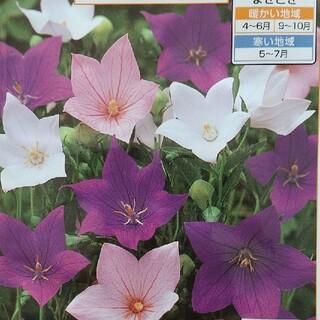 花の種     桔梗ミックス+おまけ付き50粒(その他)