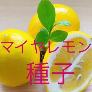 マイヤレモン種子10粒(その他)