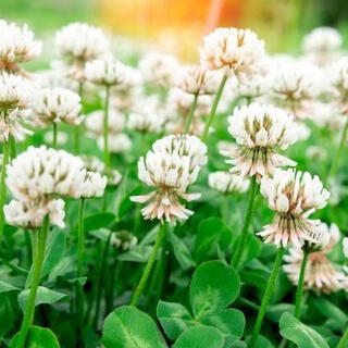 【最安値】シロツメクサ、ホワイトクローバーの種 25g   芝生、雑草対策に!(その他)