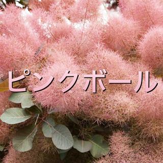 スモークツリー苗ピンクボール(その他)