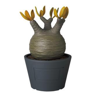 メディコムトイ(MEDICOM TOY)のVCD Pachypodium Gracilius AUTUMN LEAVES(その他)