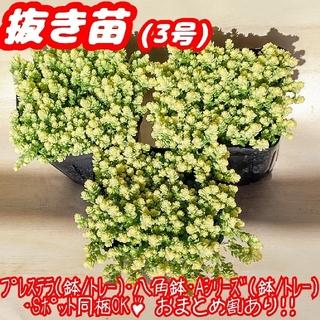 【抜き苗】アクレアウレウム(3号) 多肉植物 セダム 紅葉 プレステラ プラ鉢(その他)