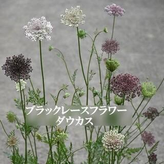 寒冷地の春まき花の種  ブラックレースフラワー・ダウカスを100粒(その他)