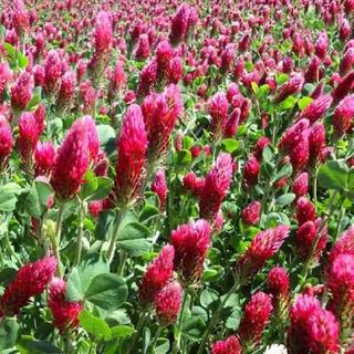 【最安値】深紅の綺麗な花♫ストロベリーキャンドル、クリムソンクローバー 30g(その他)