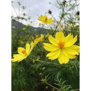 【こぼれ種で毎年開花・お世話いらずでそだてやすい】イエローコスモスの種(その他)