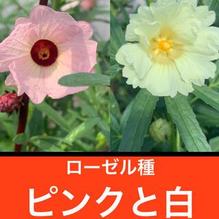 ローゼル種 ピンクと白 各50粒(その他)