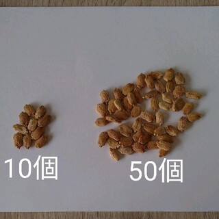 ゴーヤ 種(野菜)