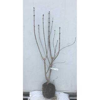 《現品》ライラック 紫花 樹高1.1m(根鉢含まず)07【リラの木/苗木/植木】(その他)