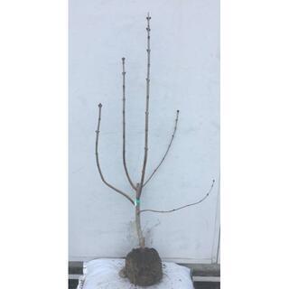 《現品》ライラック 紫花 樹高1.1m(根鉢含まず)10【リラの木/苗木/植木】(その他)