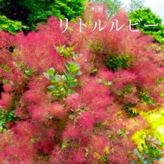 スモークツリー 苗 希少品種 リトルルビー 苗木(ドライフラワー)