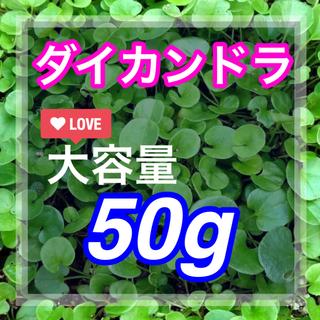 【最安値】ダイカンドラ 50g種子[3-4平米!]お洒落なグランドカバー♪♪(その他)