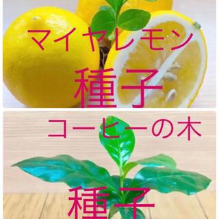 コーヒーの種子6粒とマイヤレモンの種子6粒(その他)