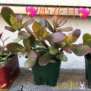 多肉植物❤︎金のなる木❤︎姫花月❤︎幸せの木❤︎根付き❤︎抜き苗❤︎おまけ付き♪(その他)