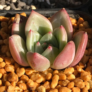 多肉植物 エケベリア ピンクシャンペーン2(その他)