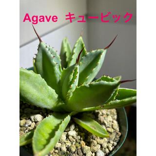 【Agave cubicアガベ キュービック 肉厚株‼️】(その他)
