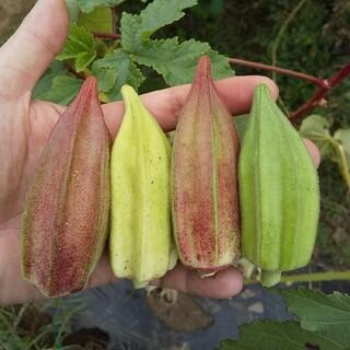 〈早割〉野菜の種 珍しいオクラの種 ダビデの星&ヒルカントリーレッド(その他)