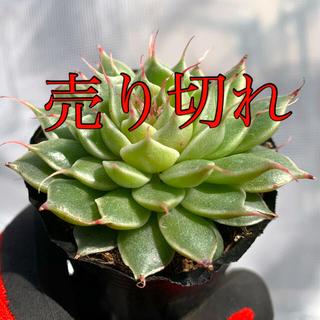 多肉植物 シルバースター❣️美苗 抜き苗(その他)
