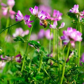 【最安値】レンゲ草(れんげ草、蓮華草)種たっぷり25g。可愛いピンクの花!(その他)