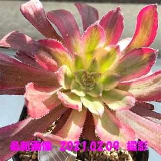 多肉植物 アエオニウム マリド錦 抜き苗 3(その他)