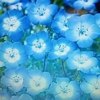 花の種      ネモフィラ200粒以上+桔梗ミックス50粒(その他)