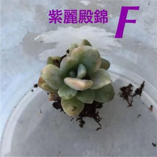 ★超レア★【葉挿しっ子・1つ】斑入り!紫麗殿錦(パキフィツム)/(多肉植物)(その他)