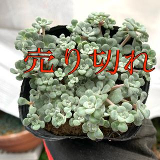 多肉植物 白雪ミセバヤ もりもり❣️美苗 抜き苗(その他)