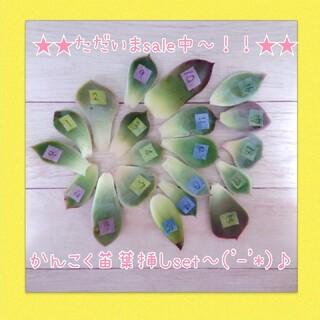 ただいまsale中~('-'*)♪韓国苗多肉植物葉挿しセット(その他)