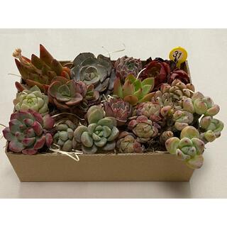 紫陽花様専用 ご確認/ご検討中 ミニ寄せ植えセット カット苗 多肉植物 31(その他)