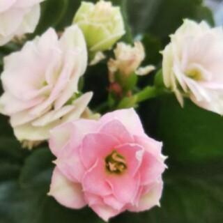 ピンクの八重咲きカランコエ(その他)