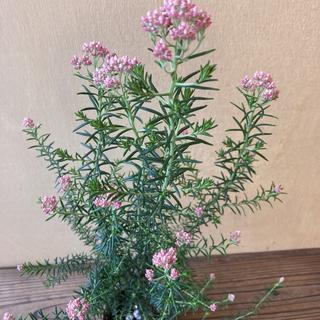 常緑低木 ライスフラワー ピンク(その他)