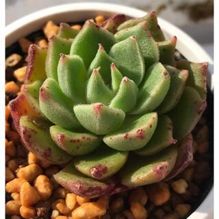 多肉植物 韓国苗  レッドトス   カット苗‼️ ②(その他)