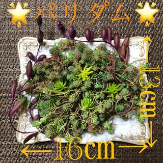 多肉植物❤︎パリダム❤︎ぷりぷりルビーネックレスカット苗♪(その他)