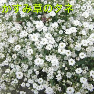 かすみ草 タネ 50粒(その他)