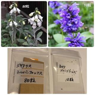 種 ジギタリスシルバーフォックス80粒 ネペタ10粒(その他)