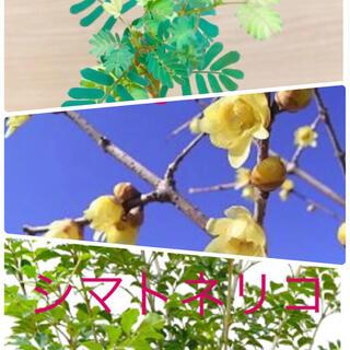 蝋梅(ロウバイ)種15粒シマトネリコ 種30粒アカシアミモザ種30粒(その他)