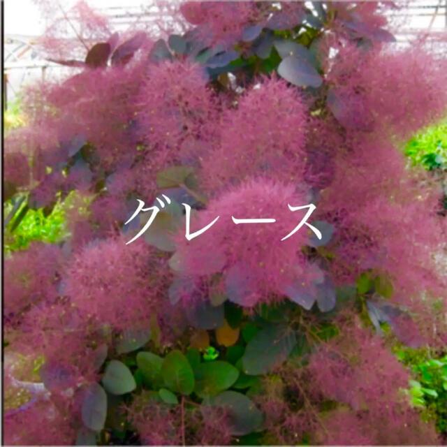 スモークツリー 苗 グレース 苗木 ハンドメイドのフラワー/ガーデン(ドライフラワー)の商品写真
