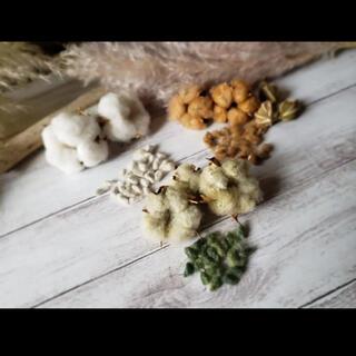 綿の実 種 コットン種 綿花 白&茶&緑 3色(プランター)